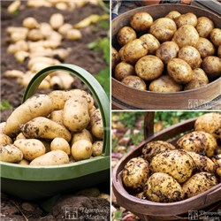 Patio Potato Kit - 15 x Black Bags - 5 Tubers of Charlotte - 5 Tubers of Maris Piper and 5 Tubers of Rocket