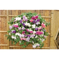 Giant Hanging Basket Fuchsias - 60 Plants