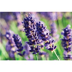 Lavender Munstead - 48 x Mini Plants plus 24 FREE