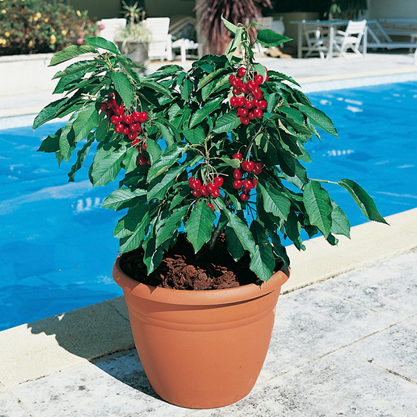 Cherry Garden Bing Potted Fruit Tree - 1 x 7.5L No Colour