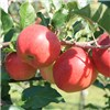 Patio Apple Red Sun Potted Fruit Tree 7.4L