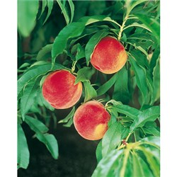 Patio Peach Amber Potted Fruit Tree 7.5L