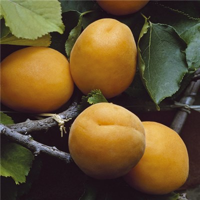 Patio Apricot 'Aprigold' Potted Fruit Tree 7.5L