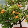 Patio Apricot Aprigold Potted Fruit Tree 7.5L