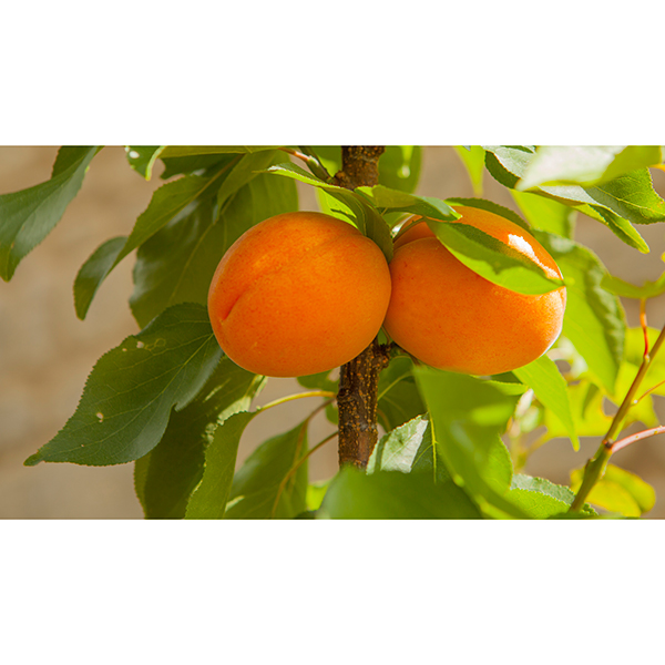 Patio Apricot Aprigold Potted Fruit Tree 7.5L 346619