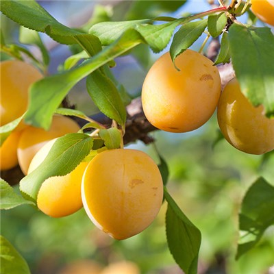 Patio Plum Golddust Potted Fruit Tree 7.5L