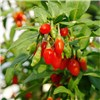 Set of 3 Goji Berry Sweet Lifeberry Plants - 3 x 9cm Pots