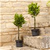 Pair of Mini Plaited Standard Bay Trees 60cm