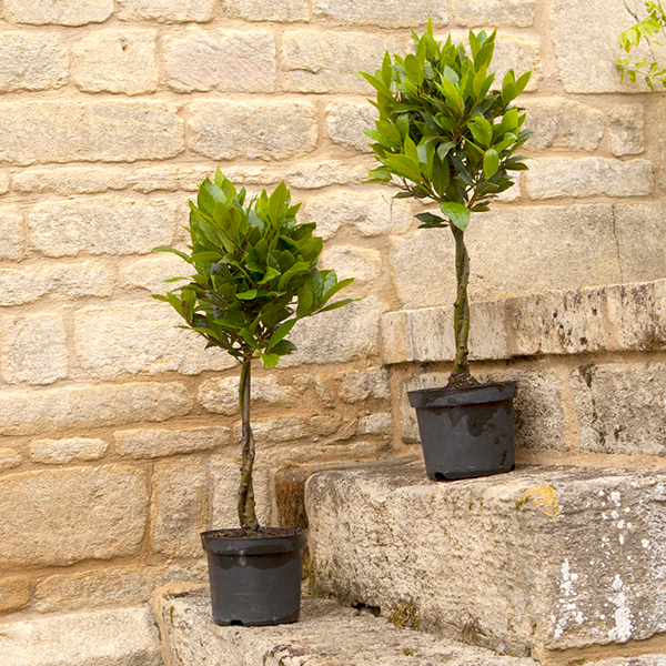 Pair of Mini Plaited Standard Bay Trees No Colour