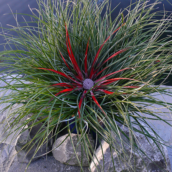 Hardy Bromeliad Fasicularia Bicolour - 1 No Colour