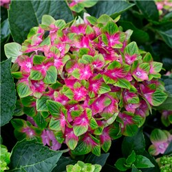 Hydrangea Glam Rock - 2 x Garden Ready Plants