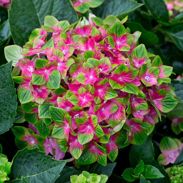 Pair of Hydrangea Glam Rock Plants 14cm Pots No Colour