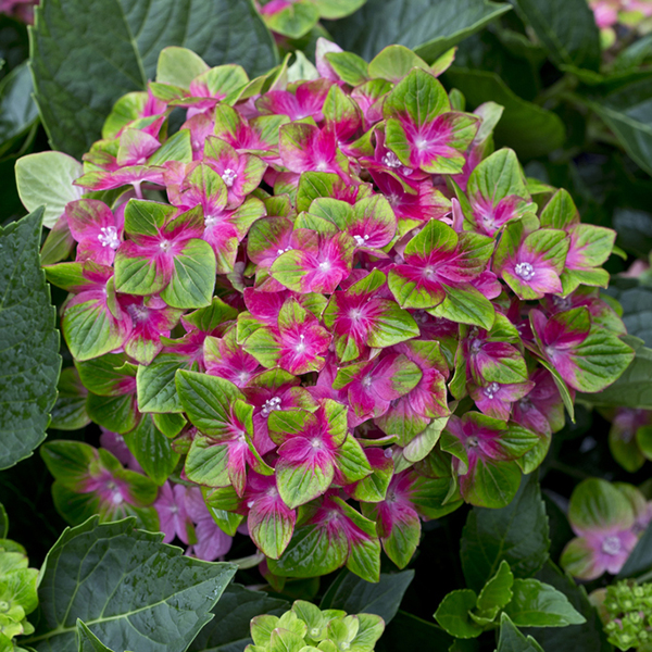 Hydrangea 'Glam Rock' Plants 14cm Pots (Pair) No Colour