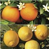 Pair of 1m Citrus Trees with Citrus Feed - Includes Orange and Lemon