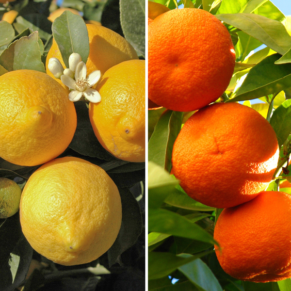 Pair of 1m Citrus Trees with Citrus Feed - Includes Orange and Lemon No Colour