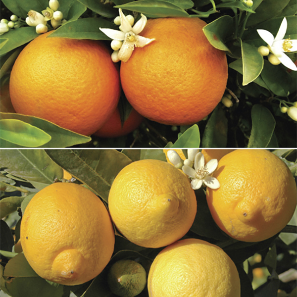 Pair of 1m Citrus Trees (Orange & Lemon) with 175ml Concentrated Citrus Feed No Colour