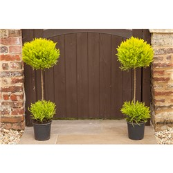 Pair of Cupressus Goldcrest Duo Ball Topiary Plants
