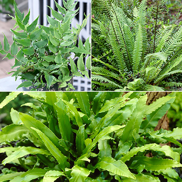Evergreen Hardy Fern Collection No Colour