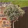 Olive Tree Standard -90-100cm Tall No Colour