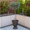 Olive Tree Standard -90-100cm Tall