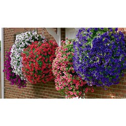 Surfinia Trailing Petunia Collection - 12 x Jumbo Plugs