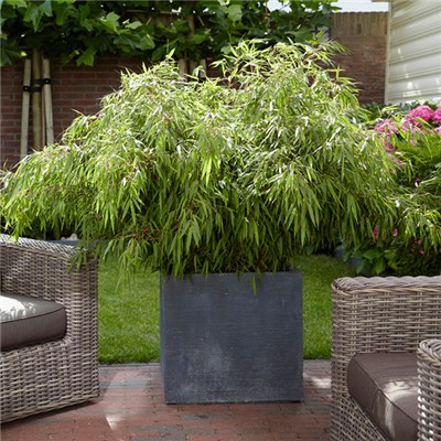 'Fargesia Rufa' Fountain Bamboos in 2L Pots (Pair)