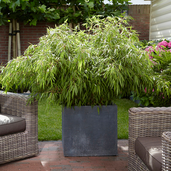 Pair of Fargesia Rufa Fountain Bamboos in 2L Pots (346996) | Ideal World