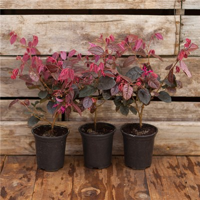 Chinese Witch Hazel Loropetalum Firedance - 3 x 9cm Pots