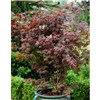 Hardy Acers Maples Collection - 3 x 10.5cm Plants