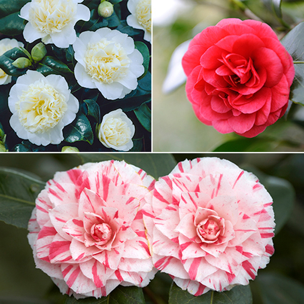 Camellia Trio Collection - 3 x 1L Pots No Colour