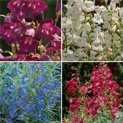 Perennial Hardy Penstemon Collection - 12 x Jumbo Plugs