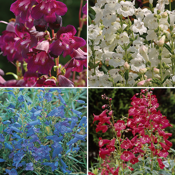 Perennial Hardy Penstemon Collection - 12 x Jumbo Plugs No Colour