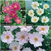 Hardy Japanese Anemone Collection - 3 x 9cm Pots