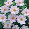 Hardy Japanese Anemone Collection - 3 x 9cm Pots No Colour