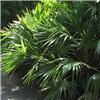Trachycarpus Hardy Fan Palm - 80-100cm Potted
