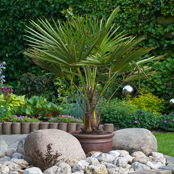 Trachycarpus Hardy Fan Palm - 80-100cm Potted No Colour