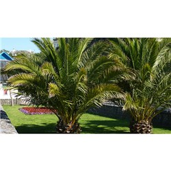Pair of Hardy Phoenix Palms 1.4M