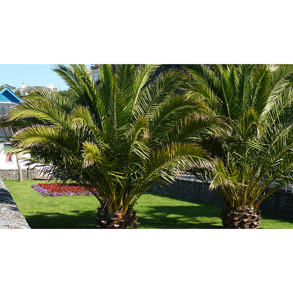 Pair of Hardy Phoenix Palms - 1.2-1.4M Tall No Colour