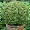 Pair of Box Buxus Balls - 25cm Diameter