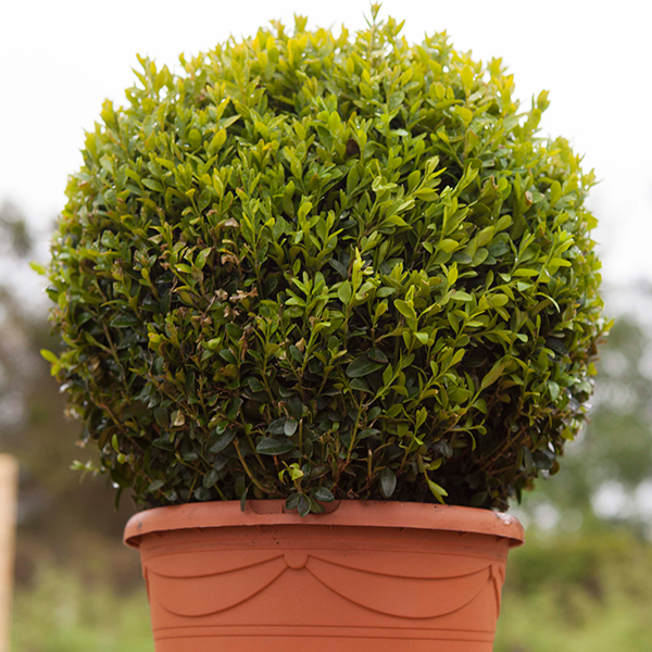 Pair of Box Buxus Balls - 25cm Diameter No Colour