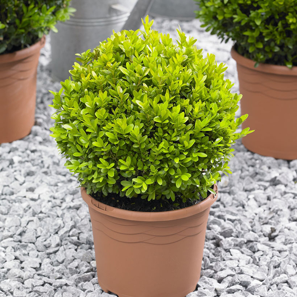 Box Buxus Balls 25cm (Pair) No Colour