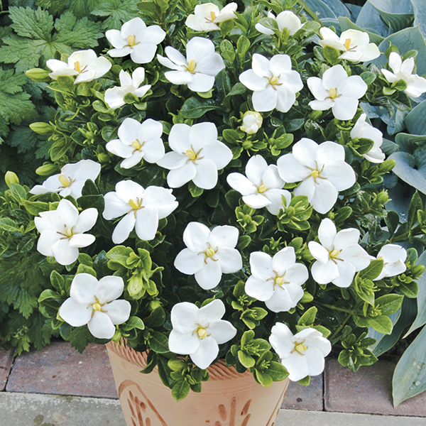 Gardenia Kleims Hardy Trio 9cm Pots No Colour