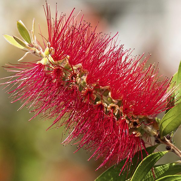 Callistemon 'King Park' 90cm Standard No Colour
