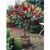 Photinia Little Red Robin - 1m Standard