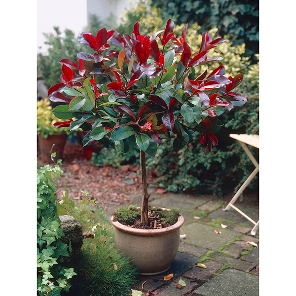 Photinia Little Red Robin 1M standard No Colour