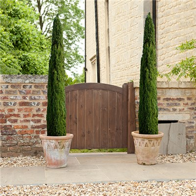 Italian Cypress Trees 1.2-1.4m (3.9-4.6ft) Tall (Pair)