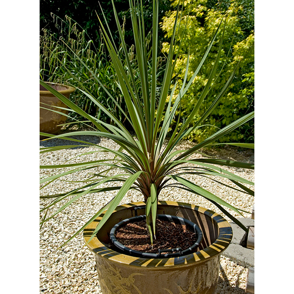 Image of Pair of Cordyline Australis 1m Tall Plants 347168