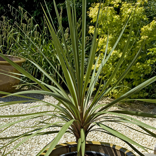 Pair of Cordyline Australis 1m Tall Plants No Colour