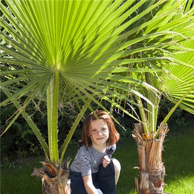 Pair of Cotton Palms - Washingtonia 1M
