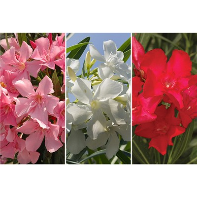 Mediterranean Oleander Collection 17cm pots x 3 colours
